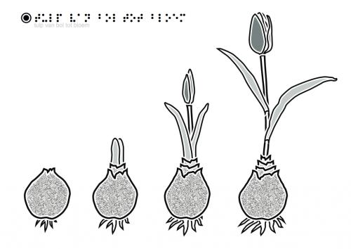tactiele tekeningen tulp bol tot bloem