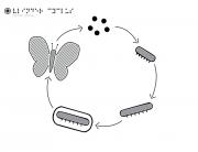 Vlinder Cyclus